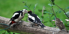 Male Greated Spotted Woodpecker feeding Male Juvenile (Dave McGlinchey) Tags: male birds feeding juvenile avian greatspottedwoodpecker rspb gardenbirds d5000