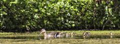 MALLARD DUCK AND DUCKLINGS (mark_rutley) Tags: birds duckling ducklings chicks gosling waterfowl swanwick swanwicklakes
