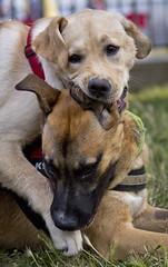 (TomUrc's Photo) Tags: dog pet dogs animal animals cane canon puppy reflex funny labrador play doggies animale giochi divertente gioco cani divertimento 60d