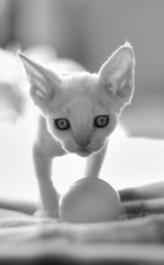 Brings a Ball (peter_hasselbom) Tags: bw cats sun backlight cat 50mm daylight kitten kittens devonrex hardlight tonemapped thelittledoglaughed