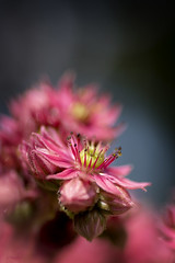 Pink (Birgit F) Tags: pink macro rosa grimstad 2013 dmmesmoen bergknapp filthretkingeltaklk crassulceae