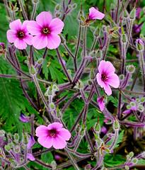 Eden 2013 D5-11069 (Ennor) Tags: uk flower flora cornwall unitedkingdom edenproject eden kernow 2013