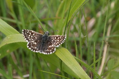 Little Marvel (raggi di sole) Tags: england nature grass butterfly insect outdoors lepidoptera dorking grassland chequered hesperiidae grizzledskipper pyrgusmalvae denbieshillside