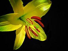 Yellow Flowers Black Background Yellow lily on a blackYellow Flowers Black Background