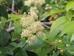 Anglų lietuvių žodynas. Žodis celastraceae reiškia <li>celastraceae</li> lietuviškai.