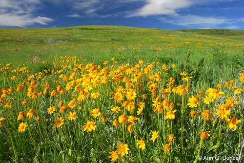 Photo - Orange Arnica meadow, Southern Grasslands Habitat Conservation Area.