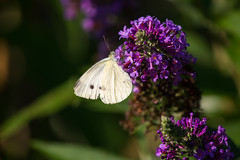 butterfly (_pacad) Tags: white butterfly purple lilac
