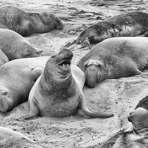 Happy Elephant Seal