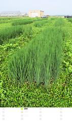 Rice Plot 204_c (uacescomm) Tags: food rice grain cereal experiment science research arkansas agriculture resistance lonoke resistant newpath