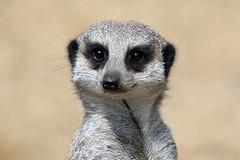 meerkat (Leo Reynolds) Tags: animal fauna canon mammal eos zoo meerkat 300mm 7d iso320 f67 hpexif 0002sec leol30random xleol30x xxx2013xxx