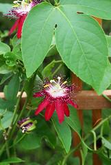Passiflora :3 (٭Missi٭) Tags: plant passiflora 50mm18 passionflowervine