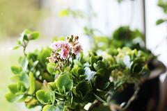 (Lilyredneck) Tags: flowers plants plant flower green art window glass oslo norway canon 50mm norge 14 pot t3 nesodden fjellstrand  1100d lilyredneck