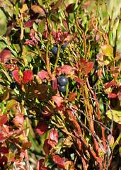 fekete áfonya / Huckleberry (debreczeniemoke) Tags: autumn red plant fruit leaf ericaceae transylvania transilvania huckleberry bilberry whortleberry myrtille erdély blaubeere heidelbeere vacciniummyrtillus növény ősz levél schwarzbeere airelle vörös mirtillonero termés feketeáfonya afin rozsály hurtleberry europeanblueberry wildbeere kokojza canonpowershotsx20is commonbilberry igniş hangafélék bluewhortleberry mollbeere kukujza