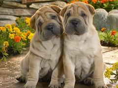 A11 (Lux Oneimauo) Tags: dog cute sweet akita pei shar inu