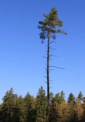Lonesome? (Gerlinde Hofmann) Tags: pinetree germany town thuringia conifer lonesome nadelbaum hildburghausen werratal häselrieth werravalley