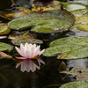 pearls (beta karel) Tags: pink flower nature water rain garden dark pearls monet waterlilly 2013 ©betakarel