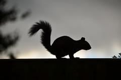 Squirrel Silhouette (UK_Greg) Tags: silhouette warrington nikon squirrel cheshire d7000 ukgreg