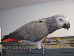 pets birds hobbies arwen parrots greyparrot aviculture captivebreeding congoafricangreyparrot psittacines psittacuserithacuserithacus grrlscientist companionpets arwenthegrey