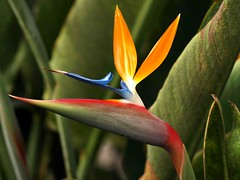 Madeira Bird of Paradise Flower (saxonfenken) Tags: flower superhero madeira gamewinner 8079 challengewinner favescontestwinner friendlychallenges pregamesweepwinner pregameduelwinner favescontestrunnerup 25thmadeirae510 8079flower birdifparadiseflower