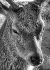 Young Red Deer Stag, Studley Royal, North Yorkshire (robin denton) Tags: blackandwhite bw mono blackwhite yorkshire deer fountainsabbey nationaltrust hdr reddeer northyorkshire studleyroyal