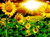 sunflower wallpaper (Wonderful beautiful photograph images) Tags: wallpaper beautiful wonderful nice superb awesome images exotic watercolour hd incredible breathtaking classy mindblowing beautifulsunset yellowsunflower brightyellowsunflower sunsetwallpaper ecommercedevelopment butterflyonsunflower sunsetsunflower beeonsunflower ecommercewebsitedevelopment sunflowerwallpaper sunflowersatsunset amazingsunsetwallpaper tropicalislandsunsetwallpaper boatinalakeatsunsetwallpaper goldensunflowerwallpaper gorgeoussunflowers amazingsunflowers redsunflowerwallpaper twosunflowerwallpaper pureredsunflowerwallpaper fieldofflowerswithsunsetwallpaper greenlightsunsetwallpaper beautifullflowersunsetwallpaper sunflowersunsetwallpaper whitefloweronthecoast lavenderfieldsatsunset purplesunsetwallpaper sunflowerinthegarden magnificentredsunsetwallpaper sunsetlightoverthesunflowerfield sunsetinsunflowerfield sunrisescenerysunsetwallpaper sunsetnaturepicture orangesunflowerwithsunset beautifulgoldensunflowerwallpaper