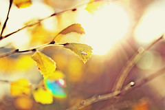 """""""All things are inconstant except the faith in the soul, which changes all things and fills their inconstancy with light..."""" (stjernesol) Tags: autumn light sun sunlight yellow bokeh flare autumnal idolovethelight freshlightisalwaysgood summerlightisbest butthatstrongautumnlightiswonderfultoo asunflareisjustafancybonus"""