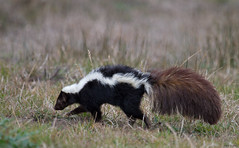 Striped Skunk, Mephitis mephitis (markvcr) Tags: california animal point mammal ngc npc skunk striped reyes mephitis