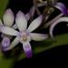 Neostylis Lou Sneary – Cher Whelan