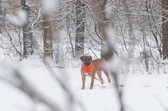 Afrika Thabisi of Alwyne (b0r0v0y) Tags: light dog sun snow game cold nature forest run boerboel
