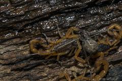 Escorpio Amarelo [Tityus Serrulatus] (Classe Arachnida, Ordem Scorpiones, Famlia Buthidae, Genero Tityus) 8 (Enio Branco) Tags: macro nature spider rainforest sony natureza insects scorpion biodiversity insetos macrophotography mataatlntica mantodea anfbios biodiversidade tapira sonyalpha natureplus votorantim dslra550 eniobranco