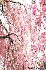 a little bit of pink (MY PINK SOAPBOX) Tags: pink tree nature floral garden landscape arbol spring rosa peaceful arbor zen serene karma motherearth pinkflowers floweringtree rosado pinktree anahidecanio