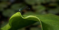 DSC06330 cpia (Bucci 10) Tags: brazil sony libelula jardimbotnico robson 1855mm paulo so paranapiacaba 390 bucci brasi