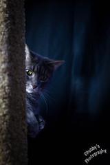 Dark Side of the Cat (Chubby's Photography) Tags: light cat dark studio kitty petunia scratchingpost kittycat chubbysphotography