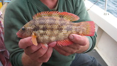 "Phil Marshall's Baillon's Wrasse 004 • <a style=""font-size:0.8em;"" href=""http://www.flickr.com/photos/113772263@N05/11833606675/"" target=""_blank"">View on Flickr</a>"