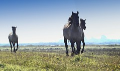 Thundering Hooves (Ger Bosma) Tags: wild portrait horses horse caballo cheval wildlife ponies cavallo cavalo pferd paard wildpony konik лошадь konikpolski polishprimitivehorse mygearandme mygearandmepremium mygearandmebronze mygearandmesilver mygearandmegold ponyrasse konikpferd польскийконик img1116911
