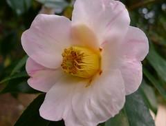 Secchu-ka:Camellia:雪中花(椿) (love_child_kyoto) Tags: masterphotos artisticflowers takenwithlove lovelyflickr マスター写真 takenwithhardwork pandaonflickr