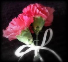 ~ Romantique ~ (~ Nanette ~) Tags: flowers stilllife soft image bow romantic softfocus dreamy tranquil softlight mycreation romantique whiteribbon expresive pinkcarnations lovelymood ~nanettelaromantique~♥