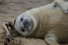 Seal Pup, Horsey (i_am_keef) Tags: beach norfolk seal pup horsey