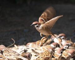 Sparrow_P1130577 (Ian Liao) Tags: bird  gh2 100300f4056