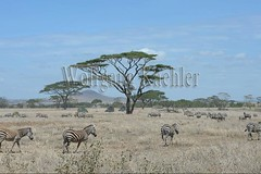10072020 (wolfgangkaehler) Tags: africa people tourism landscape tanzania mammal nationalpark african wildlife tourist safari zebra serengeti eastafrica eastafrican tanzanian serengetinationalpark burchellszebra tanzaniaafrica burchellszebras serengetitanzania safarijeep safarivehicle burchellszebraequusquagga {vision}:{outdoor}=099 {vision}:{sky}=0554 {vision}:{beach}=0623