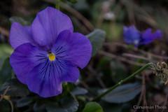 Pensamiento Violeta (Cursomn) Tags: madrid primavera march spring pansy marzo curso pensamiento capricho parquedelcapricho canon60d canonistas canoned18135mm