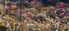 Ome-4260 (Sarah Sutter) Tags: flowers nature japan tokyo spring blossoms ome hanami yoshino plumblossoms floweringtrees baigo yoshinobaigo
