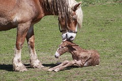 Brand new life (velo_city) Tags: roadtrip missouri newborn mule justborn foal 2014 missourimule belgianshire