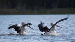 Two Pelicans-1 (Pelecanus) (Me&MyCamera Photography) Tags: water nikon dam pelican queensland zoomlens northpine pelecanus d7100 flyingpelican nikkor28300 samsonvaledamqld