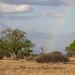 Lions Beneath a Rainbow at Sunset