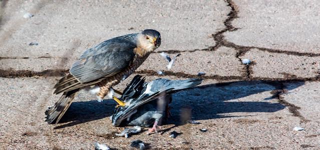 hawk birds pigeon kill crows moncton