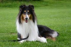 Laaaaassieeeee! (JohannesMayr) Tags: dog hund lassie langhaarcollie rough collie