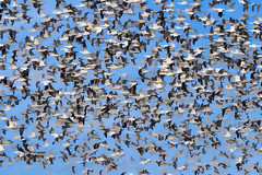 NJ: Snow Geese as Escher painting (donna lynn) Tags: snowgoose snowgeese 2017 newjersey nj birds birding winter february nikon d500 nature wildlife white mercercounty