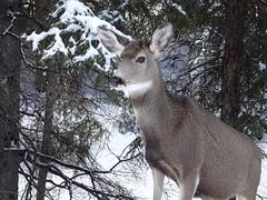 Banff (paulstead2) Tags: winter snowscenes wildlife big3 alberta rockies canada deer banffnationalpark