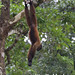 Woolly Monkey, Lagothryx sp.
